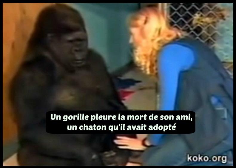 gorille pleure chaton