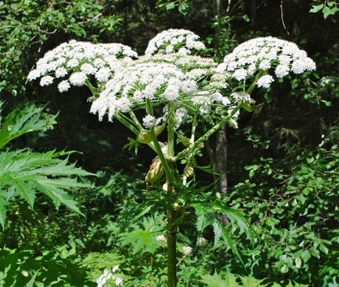 plante dangereuse toxique