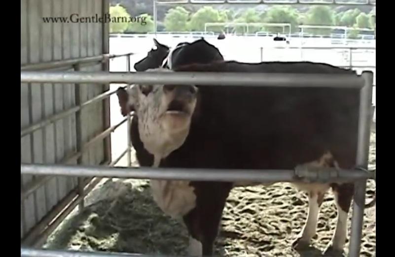 ferme-animaux-vache-naissance-veau