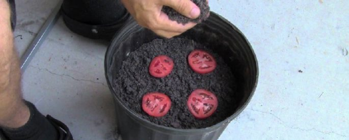 astuce jardin pousser tomate