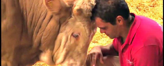 sauvetage taureau abbatoir
