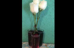 fleur qui change de couleur
