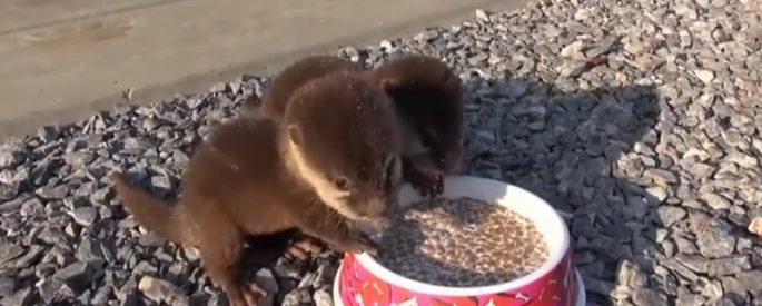 bebe loutre animal nourriture