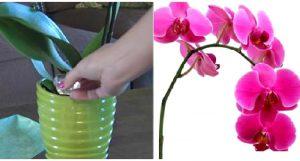 astuce orchidee fleur