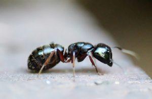 fourmis debarrasser astuce sel