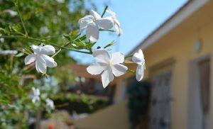 jasmin insomnie plante astuce