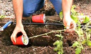 astuce jardin planter tomate
