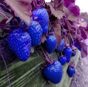 astuce jardin recolter fraise bleue