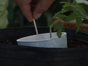 astuce jardin tomate cure dent
