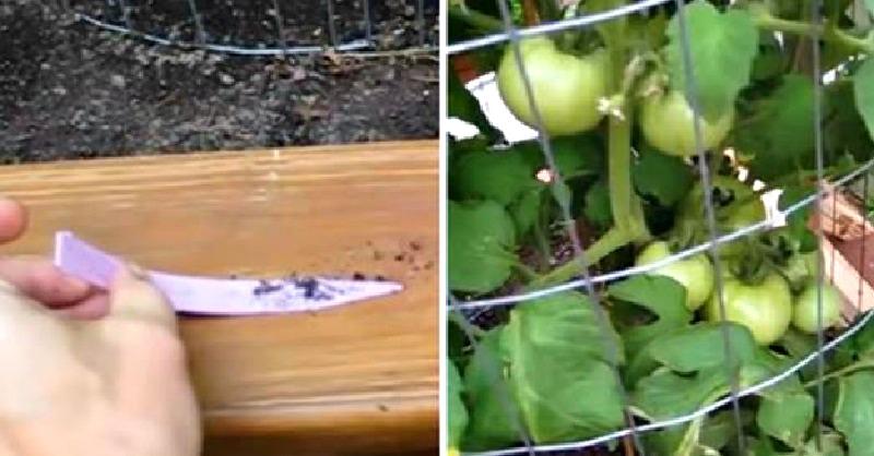 Voici des astuces g niales pour quintupler votre - Que faire avec des tomates du jardin ...