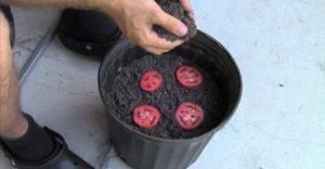 astuce jardin tomate terre