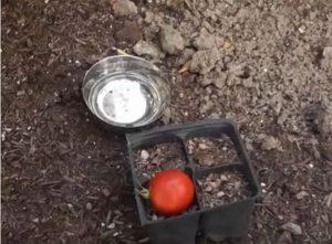 astuce jardin transplanter tomate