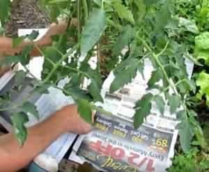 astuce jardin transplanter tomates