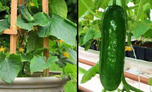 astuce planter concombre jardin