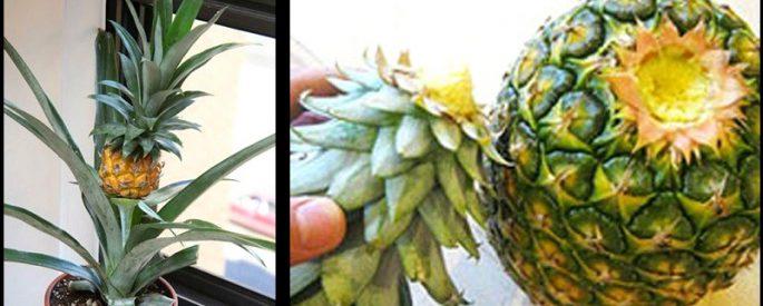 jardin astuce planter ananas