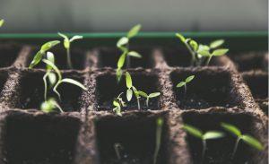 astuce faire plant tomate