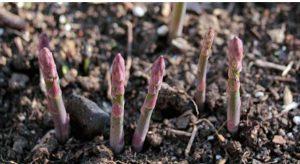 astuce faire pousser asperge