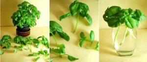 astuce faire pousser basilic