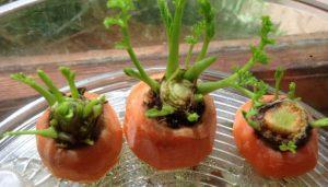 astuce faire pousser carottes