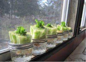 astuce faire pousser salade