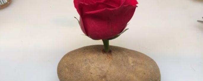 astuce fleur rose faire pousser