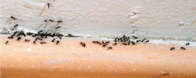 astuce fourmis se debarraser naturelle