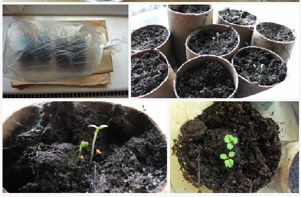 Comment faire pousser des fraises des fraises commencent - Comment faire pousser de la menthe ...