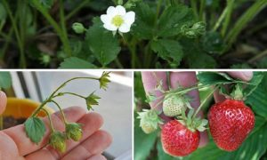astuce fraise jardin plants