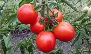 astuce gros plant tomate