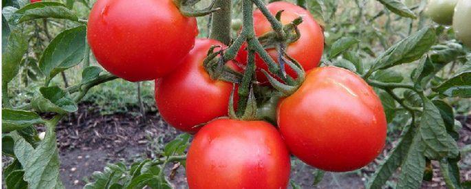 astuce gros plant tomate