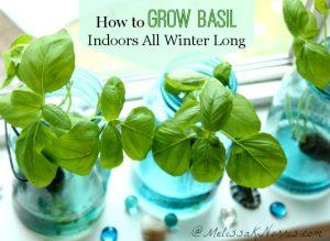 astuce jardin faire pousser basilic