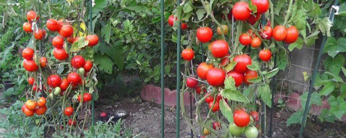 astuce jardin plant tomate