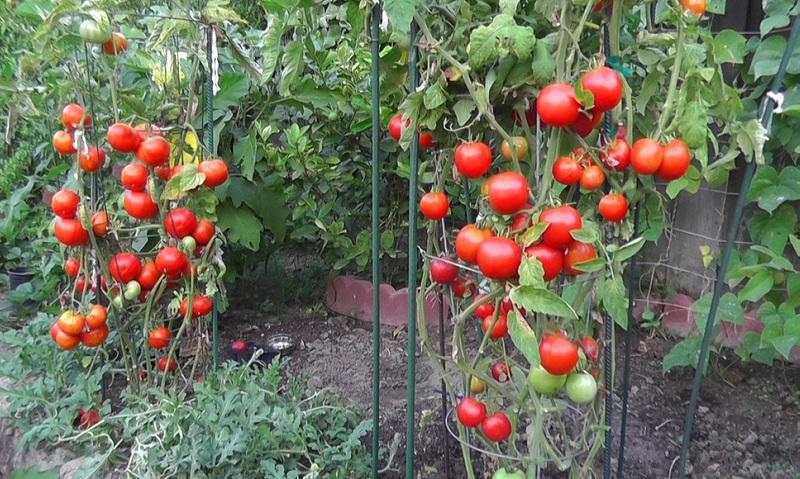 Voici comment obtenir la meilleure r colte de tomates des - Comment congeler des tomates du jardin ...