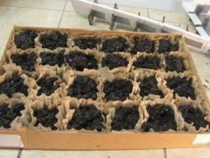 astuce jardin semis filtre cafe