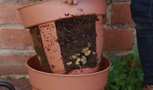 astuce jardinage pomme de terre