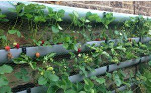 plant jardin fraise verticale