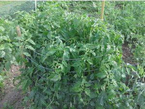 astuce jardin tomate plant
