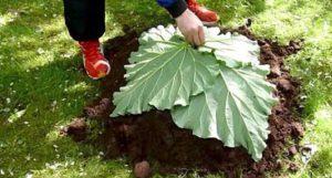 il met 4 feuilles de rhubarbe sur une butte de terre son astuce pour le jardin est g niale. Black Bedroom Furniture Sets. Home Design Ideas