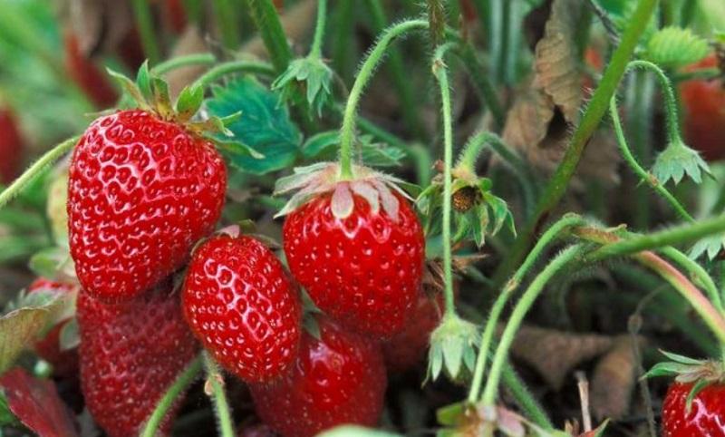 Voici comment conserver des fraises fra ches plus - Comment conserver des courgettes du jardin ...