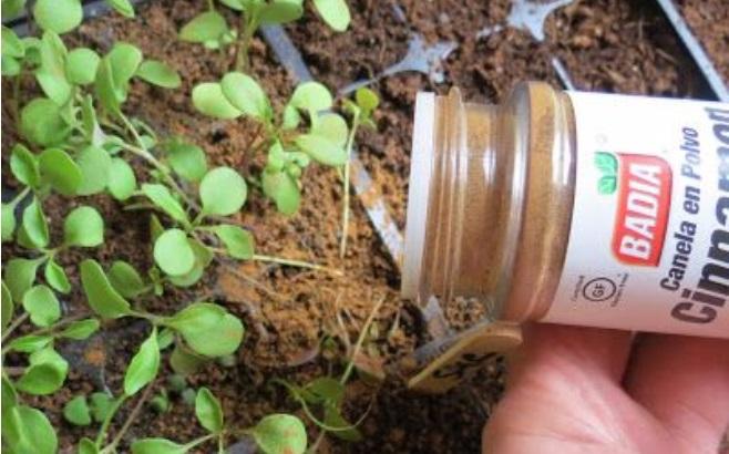Elle Met De La Cannelle Moulue Sur Ses Plantes… Une Astuce Jardin À  Découvrir ! »