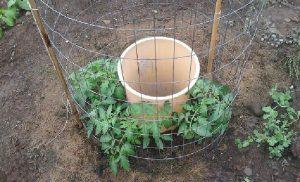 plant tomates 1 dollar astuce