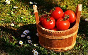 tomate maigrir