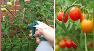 astuce jardin plant tomate aspirin