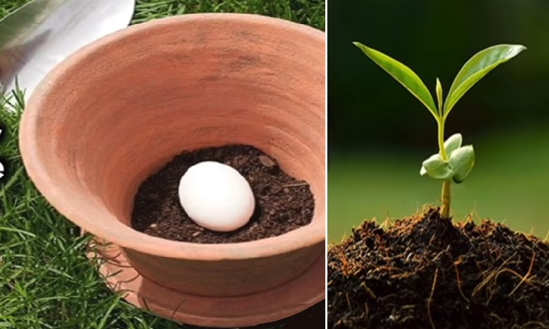 elle enterre un oeuf cru dans le sol de ses plants une astuce jardinage d couvrir. Black Bedroom Furniture Sets. Home Design Ideas