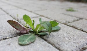 astuce mauvaise herbe solution naturelle