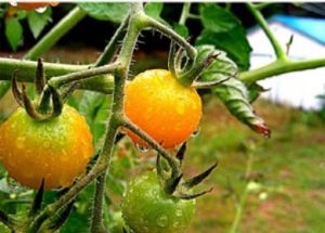 astuce pour tomate septembre