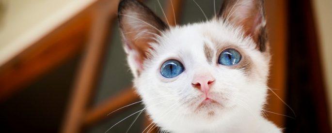 chat blanc retour maison astuce