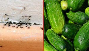 fourmi concombre cannelle astuce