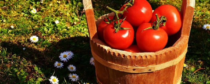 recolte tomate septembre